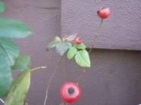 rose hips.JPG