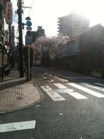 藍染桜.jpg