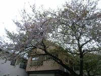 駐車場桜.JPG